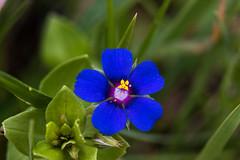 Anagallis monelli (Adrià Páez) Tags: flower nature plant blue anagallis monelli macro canon eos 7d mark ii 60mm parc natural de lalbufera mallorca
