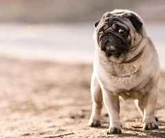 Russian pug (nesterov.photographer) Tags: pug puglife pugstagram puglover puglovers puggy pugs dog dogs doglovers