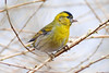 Siskin (eric robb niven) Tags: ericrobbniven scotland dunkeld perthshire wildlife wildbird nature springwatch