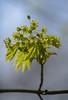 Ahorn-Blüte (KaAuenwasser83) Tags: ahorn blüte