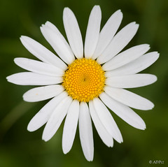 Ox-eye daisy in front of green grass (adp_cz) Tags: e0001 bloom blooming blossom botanical botany bright clear closeup color countryside daisy day delicate detail ecology environment flora floral flower fresh garden gardening grass grow growing growth health herb herbal idyllic lawn leaf meadow natural one outdoor oxeye peace petal petals plant plants pure rural seasonal single spring summer white yellow
