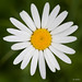 Ox-eye daisy in front of green grass