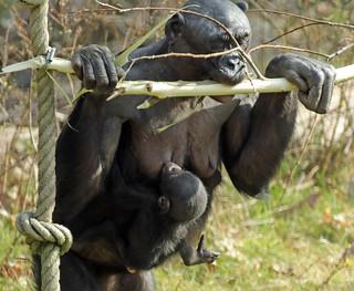 Bonobo Apenheul BB2A1646