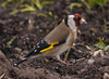 European goldfinch (y.mihov, Big Thanks for more than a million views) Tags: goldfinch bird animals europe england englanduk trespass fields wings feathers sonyalpha sigma 150500mm zoom colours outdoor