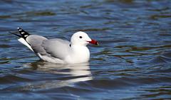 Audouin's Gull. (Chris Kilpatrick) Tags: audouinsgull gull bird animal mallorca outdoor wildlife nature salbufera naturereserve water white sigma150mm600mm canon chris canon7dmk2