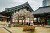 (Dubai Jeffrey) Tags: bongeunsa buddhist korea lilactree seoul spring temple