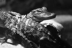 Caimanes en Gatorland, Orlando, Fl. (Mario Rivera Cayupi) Tags: caimán naturaleza salvaje orlando florida usa bw animal alligator nature wild canon80d 24105 seriel