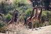 tower of giraffes (SusanKurilla) Tags: wildlife africa kenya tanzania wild safari adventure tower giraffe