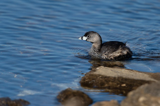 Pied-billed Grebe-49125.jpg
