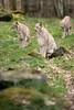 DSC_5489 (Firas Abolfadl) Tags: hanau steinheim luchs wild animal tiere