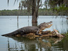 Lake Martin - Alligator.jpg (Stephen B Jessop) Tags: louisiana log usa lakemartin trees water swamp fishingline 2018 alligator olympus stephenbjessop em5mk2