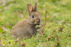 Bunny (claire.con) Tags: bunny rabbit wild wildanima animal wildlife nature outdoors forestfarm naturelover naturereserve cute wildanimal wildlifephotography wildanimals