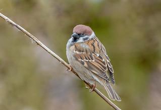 JWL5915  Tree Sparrow...