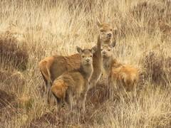 Red Deer (brianwaller703) Tags: red deer