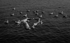 Ganga | Varanasi 2017. (Vijayaraj PS) Tags: nikon varanasi kasi india heritage hindu hinduism ganga ganges water river incredibleindia light outdoor ghats asia travel boat bird seagull seagulls migration blackandwhite monochrome people white background grey grains underexposed