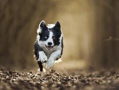 (Cristina Laugero) Tags: dog cane chien perro run correre action dogsinaction border collie bordercollie happy felice