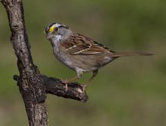 White-throated Sparrow (AllHarts) Tags: whitethroatedsparrow backyardbirds memphistn naturesspirit thesunshinegroup naturescarousel ngc