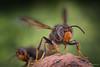 2 Vespa velutina (PatHDTattoo) Tags: vespa velutina frelon asiatique hornet macro ivm t