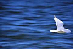 Wanderer (TMishra) Tags: bird ocean beach flying exploration travel