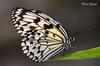 Black and white (Rene Mensen) Tags: black butterfly wildlands white insect nikon nikkor wings emmen d5100 drenthe dierentuin dierenpark zoo