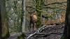 Edelhert in het bos (Joke.Benschop) Tags: animals deer edelhert hert jokebenschop landschap nature natuur nikonafs80400mmf4556gedvr nikond7100 reddeer wwwjokebenschopcom