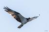 Aguila Pescadora-11 (J13Bez) Tags: 150600 aguilapescadora aves costa d7200 estrecho naturaleza pajaros puntacarnero eagle bird nikon pescadora aguila