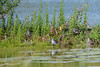 Lesser Yellowlegs and one Pectoral Sandpiper (ctberney) Tags: lesseryellowlegs pectoralsandpiper shorebirds birds water weeds nature