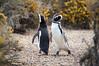 Punta Tombo (cuiti78) Tags: punta tombo argentina patagonia