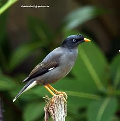 IMG_1625 Jungle Myna (Acridotheres fuscus) (vlupadya) Tags: greatnature aves animal fauna indianbirds jungle myna acrodotheres kundapura karnataka