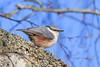 Nötväcka / Nuthatch / Sitta europea (Andreas_Pettersson) Tags: nötväcka sitta europea nuthatch eurasiannuthatch bird springbird nature fågel vårfågel