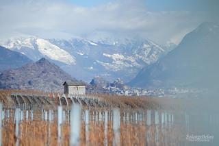 Vignes en hiver - Vines in winter