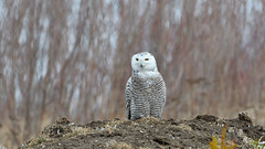 DSC_0719_edit (Hanzy2012) Tags: nikon d500 afsnikkor500mmf4difedii teleconverter tc14eii toronto ontario canada snowyowl buboscandiacus bird wildlife nature wild