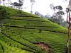 P2050337 (StineGS) Tags: teaplantation nature srilanka