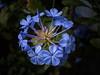 Plumbago auriculata (Paul Leb) Tags: flor flower fleur plumbago auriculata dentelaireducap