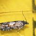 Epinotia pygmaeana - Pygmy needle tortricid - Листовёртка-иглоед пигмей