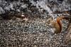 Gluttony (flashfix) Tags: april062018 2018inphotos ottawa ontario canada nikond7100 55mm300mm nikon flashfix flashfixphotography nature mothernature squirrel redsquirrel backyardphotography wildlife rodent animal