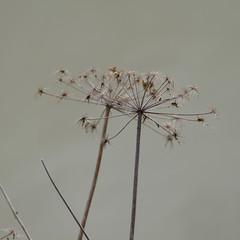 Remains: last year's umbellifer (Dave_A_2007) Tags: nature plant umbellifer stratforduponavon warwickshire england