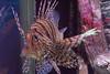 Lionfish (jackiecomer994) Tags: fish lionfish aquarium