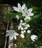 Allium neapolitanum - Aglio napoletano (vincenzolerro) Tags: 11042018t77fiori thisphotorocks languageofflowers