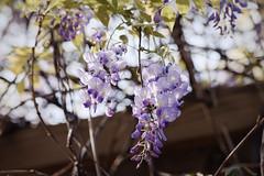 紫藤花 - Wisteria flowers (basaza) Tags: dxo canon 760d 紫藤花