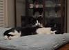 Idaho (front) and Tina (rootcrop54) Tags: idaho male tuxedo tina female cat cats togetherness restaurantchina neko macska kedi 猫 kočka kissa γάτα köttur kucing gatto 고양이 kaķis katė katt katze katzen kot кошка mačka gatos maček kitteh chat ネコ