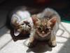 Kitten (SohailIqbal1973) Tags: pentax pentaxk5 k5 helios 442