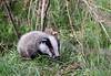9Q6A9067 (2) (Alinbidford) Tags: alancurtis alinbidford brandonmarsh nature wildlife badgercub