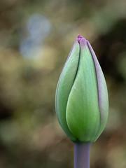 Almost there! (susie2778) Tags: olympus omdem1mkii 60mmmacrof28 mft macro bordehill flower tulip bokeh olympusuk