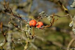 Kein Apfelbäumchen (Sockenhummel) Tags: britzergarten früchte park baum tree frühjahr spring ast zweig fuji xt10