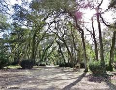 Fouras - Le Bois Vert (JeanLemieux91) Tags: charentemaritime poitoucharentes france europe mars march marzo hiver invierno winter fouras pin pine chênes verts evergreen oak forêt forest selva
