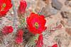 CAE011872a (jerryoldenettel) Tags: 180413 2018 beehivecactus cactaceae caryophyllales coreeudicots echinocereus echinocereuscoccineus garfield nm scarletbeehivecactus sierraco wildflower cactus flower northastofgarfield