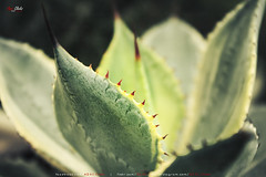 Red Thorns (AQAS.Clicks) Tags: landscape pakistan nature tracking photography ngc travelpakistan beautifulpakisan travel canon perspective moments natureshots naturephotography naturelovers scenery aqas garden plants thorns lahore