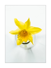 Daffodil (Dave Fieldhouse Photography) Tags: daffodil flower flowers nature graphic simple flora yellow glass macro macrophotography project samyangf28100mm samyang fuji fujifilm fujixt2 wwwdavefieldhousephotographycom bottle jar naturallight windowlight spring springtime
