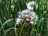 Blowed dandelion (nenos_79) Tags: iphonephotography bulgaria plovdiv macrodreams macro nature plant flora flower dandelion